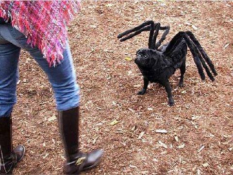 Dog spider.jpg