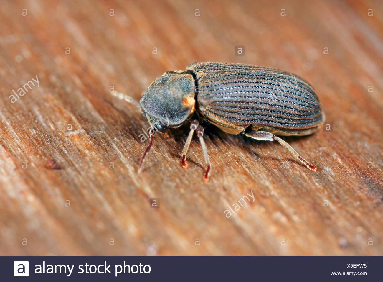 furniture-beetle-woodworm-woodboring-beetle-anobium-spec-woodworm-on-wood-X5EFW5.jpg