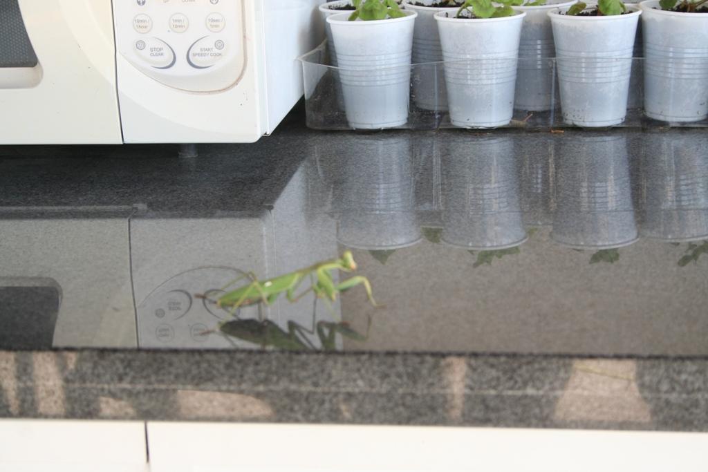 hot mantis.jpg