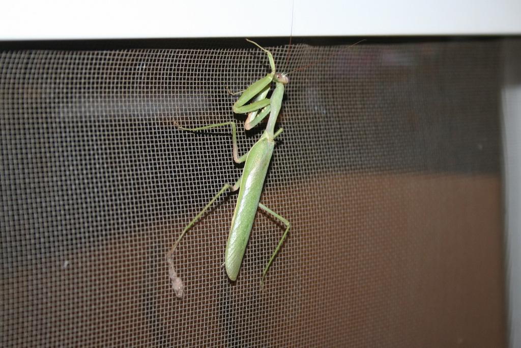mummy mantis.jpg